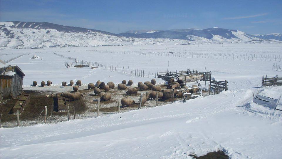 Овце на металу